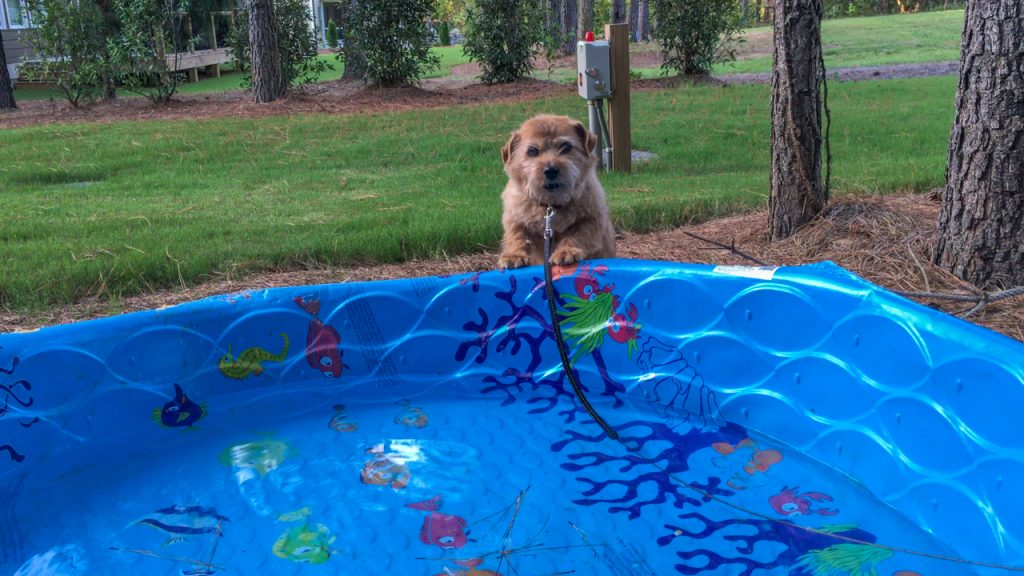 norfolk terrier hank born to swim