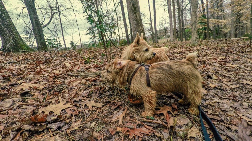 norfolk terriers ernie jaxon exploring hidden rocks