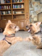 norfolk-terrier-ernie-and-otto-bitefest-1