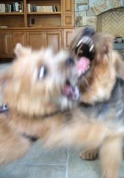 norfolk-terrier-ernie-and-otto-bitefest-2