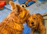 norfolk-terrier-ernie-nipping-jaxon