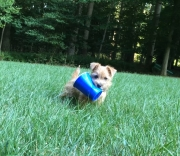 norfolk-terrier-ernie-plays-with-party-cup-2