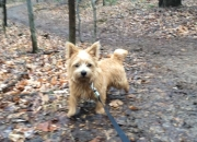 norfolk-terrier-ernie-walking-at-riverbend-park-2