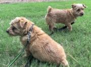 norfolk-terrier-hank-and-jaxon
