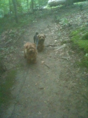 norfolk-terrier-hank-and-otto_20100528_002881