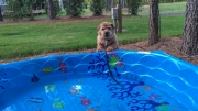 norfolk-terrier-hank-born-to-swim
