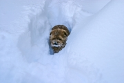 norfolk-terrier-hank-fighting-his-way-through-snow