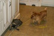 norfolk-terrier-hank-playing-with-cagney
