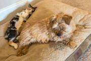 norfolk-terrier-hank-relaxing-with-lexi