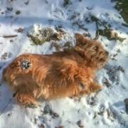 Hank Rolling In Snow
