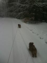 norfolk-terrier-hank-running-toward-otto-in-blizzard