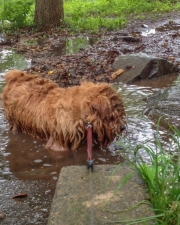 Hank Soaking Wet In a Stream