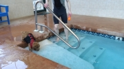 norfolk-terrier-hank-takes-a-therapeutic-swim