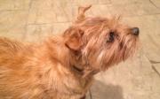 Hank With Alert Ears