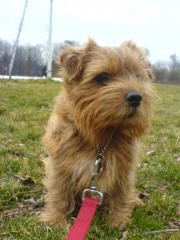 norfolk-terrier-hank_001471