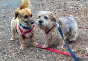 norfolk-terrier-jaxon-and-min-pin