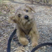 norfolk-terrier-jaxon-at-wilkerson-nature-preserve-1