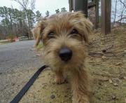 norfolk-terrier-jaxon-coming-closer