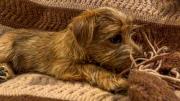 norfolk-terrier-jaxon-on-brown-blanket
