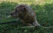 norfolk-terrier-jaxon-on-grass