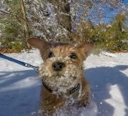 norfolk-terrier-jaxon-running-in-snow