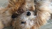 norfolk-terrier-otto-isnt-fazed-by-ernie