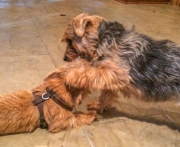 norfolk-terrier-otto-patting-ernie