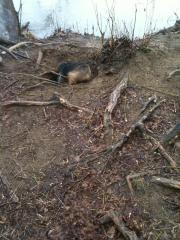 norfolk-terrier-otto_20110228_003846