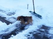 norfolk-terrier-otto_20150109_003681