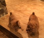 norfolk-terriers-hank-and-ernie_20150130_003677