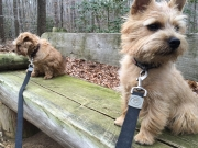 norfolk-terriers-hank-and-ernie_20150207_003689