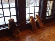 norfolk-terriers-hank-otto-and-ernie_20150128_004853