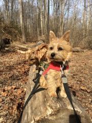 norfolk-terriers-hank-otto-and-ernie_20150206_003685