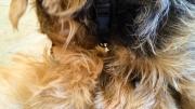 norfolk-terriers-otto-and-ernie-best-buddies-1.jpg
