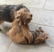 norfolk-terriers-otto-and-ernie-wrestling-until-hank-intervenes