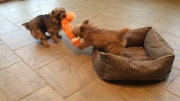 norfolk-terriers-otto-and-ernie_20150107_003668