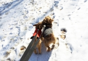 norfolk-terriers-otto-and-ernie_20150109_003680