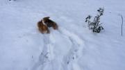 norfolk-terriers-play-in-fresh-fallen-snow