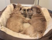 norfolk-terrier-ernie-and-jaxon
