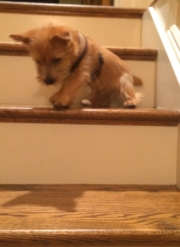 norfolk-terrier-ernie-conquers-stairs