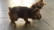 norfolk-terrier-ernie-is-a-tough-puppy-1