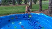 norfolk-terrier-hank-born-to-swim