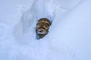 Norfolk Terrier Hank In Deep Snow
