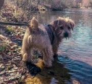 norfolk-terrier-jaxon-at-waters-edge