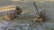 norfolk-terrier-jaxon-chasing-ernie