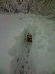 Norfolk Terrier Otto In Deep Snow