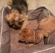 norfolk-terrier-otto-wants-his-bone
