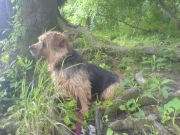 norfolk-terrier-otto_20090621_003509