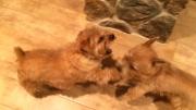 norfolk-terriers-hank-and-ernie_20150130_003673