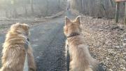 norfolk-terriers-hank-and-ernie_20150211_004684